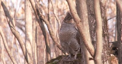 Ruffed Grouse Standing in Woods, Suddenly Looks to Back, Nervous