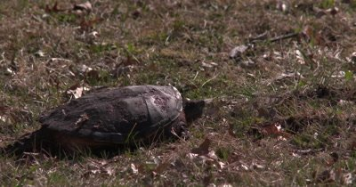 Snapping Turtle, Resting in Sun