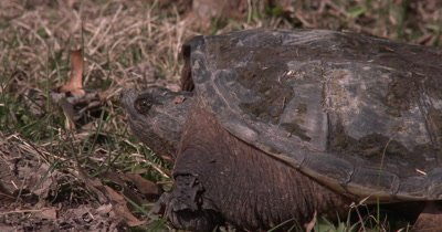 Snapping Turtle on Dry Land, Blinks