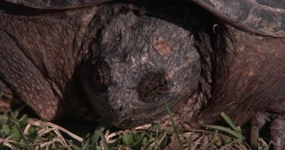 Snapping Turtle Sunning, Blinks One Eye