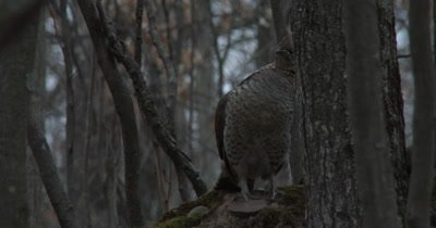 Ruffed Grouse, Peeking From Behind Tree