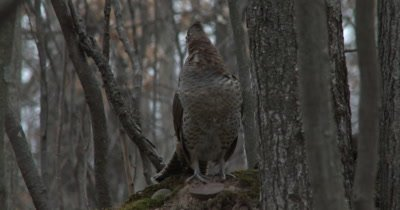 Ruffed Grouse Standing in Early Morning Woods, Looks Quickly Behind