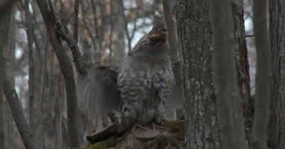 Ruffed Grouse Drumming, Raises Crest on Head at End