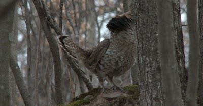 Ruffed Grouse Drumming, Raises Ruff Around Neck And Spreads Tail Feathers at End