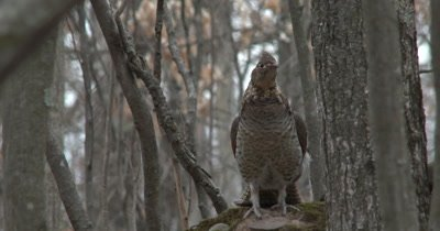 Ruffed Grouse in Woods, Downey Woodpecker in FG OOF