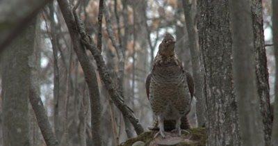 Ruffed Grouse in Woods, Downey Woodpecker in FG OOF