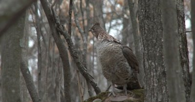 Ruffed Grouse Alarmed, Looking to Back and Side