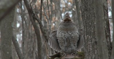Ruffed Grouse Frontal Drumming