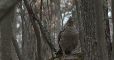 Ruffed Grouse Drumming, Motion Slowed 50%