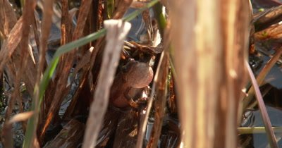 Northern Spring Peeper, Frog, Calling from Reeds in Pond