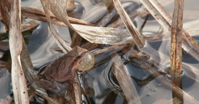 Northern Spring Peeper, Frog, Hiding in Reeds, Throat Inflated to Call