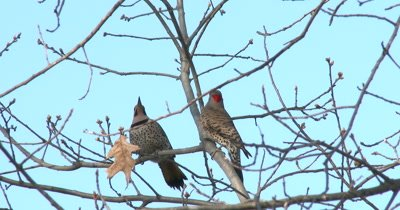 Northern Flickers Posturing, Mating Behavior