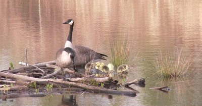 Canada Goose Family, Gander Watching, Hen Climbs Out Onto Logs, Goslings Feeding