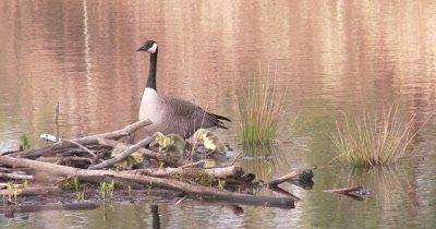 Canada Goose Family, Gander Watching Over Feeding Goslings on Beaver Lodge