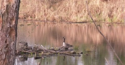 Canada Goose Family in Beaver Pond, Parents and Goslings