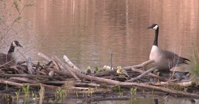 Canada Geese, New Family With Goslings on Beaver Lodge
