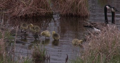 Canada Goose Family, Goslings Lined Up on Log in Water, Parents Guarding