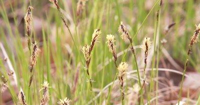 Wild Grasses, Seed Heads, Light Breeze
