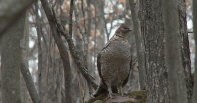 Ruffed Grouse, Very Tired, Sleeping Standing Up