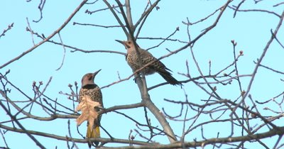 Northern Flickers, Flitting About, Posturing for Mating Season