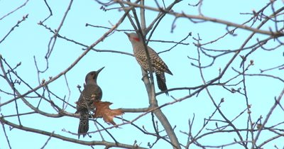 Northern Flickers, Flitting About, Posturing, Both Exit