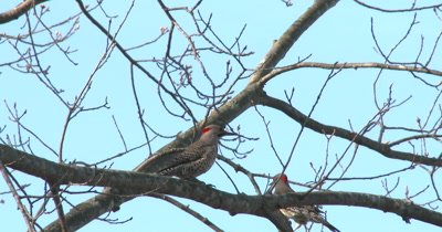 Northern Flickers in Spring Oak Tree, Courtship Display, Both Exit