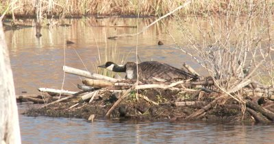Canada Goose Hen in Nest, Holding Neck Low to Avoid Detection