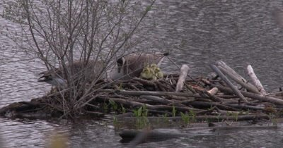 Canada Goose Family, Hen Rises Slightly To Accomodate Goslings Underneath