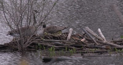 Canada Goose Family, Goslings Under Hen's Wing to Stay Warm