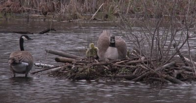 Canada Goose Family, One Gosling Trying to Get Under Hen, Hen Re-positions