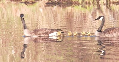Newly Hatched Canada Goose Goslings, Parents Guarding