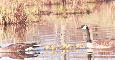 New Goslings, Canada Goose Family Swimming in Pond