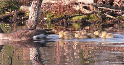 Canada Goose Family Swims Through Frame, Parents, Goslings
