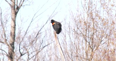 Red-winged Blackbird on Top of Dead Tree, Callling Twice