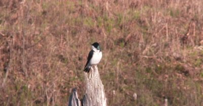 Tree Swallow Looking Into Sky, Calling Other Birds, Exits