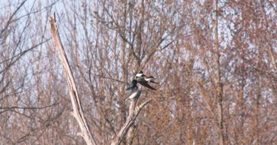 Pair of Tree Swallows Near Nest, Preening