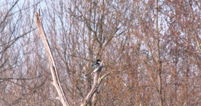 Tree Swallow Looking Around, Exits