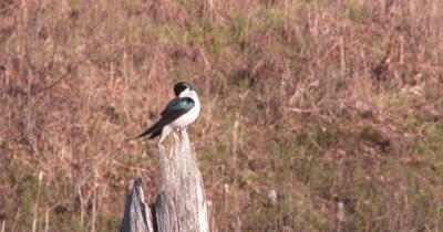 Tree Swallow Watching From Top of Dead Tree, Preening