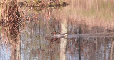Green-winged Teal Swimming in Pond, Exits Water, Turns, Feeds, Re-enters water