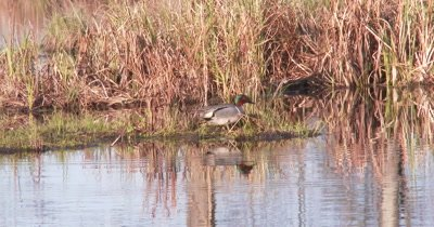 Green-winged Teal Walking Along Pond, Enters Water, Feeding
