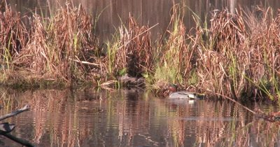Green-winged Teal Feeding Along Edge of Pond Reeds, Exits