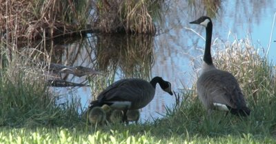 Canada Goose Parents Walking Group of Goslings Into Pond, All Enter Water