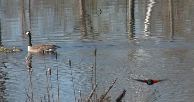 Canada Goose Family Swimming, Red-winged Blackbird Enters Scene, Flys Straight Toward Camera
