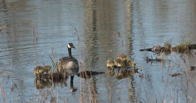Newly Hatched Canada Goose Goslings Standing on Pond Reed Beds, Parent Guarding