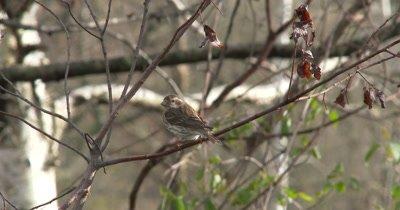 Female Purple Finch on Branch, Looking Toward Camera