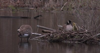Canada Goose Family, Hen Touches Beak With Gosling