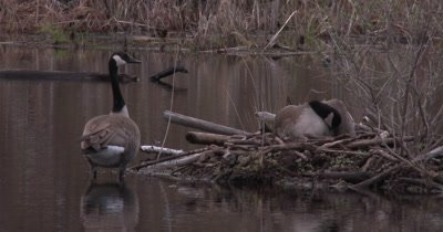 Canada Goose Family, Hen Sitting on Six Goslings Under Wing