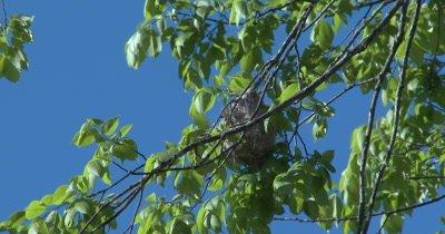 Baltimore Oriole Nest in Tree, Oriole Inside Working on Nest, Weaving