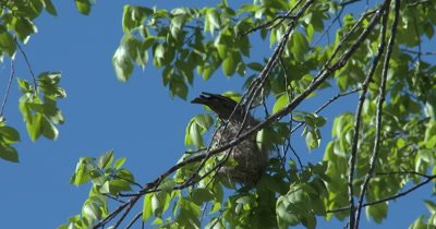 Parasitic Brown-headed Cowbird Inspecting Oriole Nest in Tree, Inspecting Nest for Egg-laying