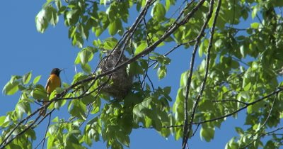 Baltimore Oriole Female Enters With Nesting Mataerial, Jumps Down Into Nest, Starts Weaving